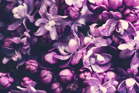 Purple lilac flowers blossom in garden