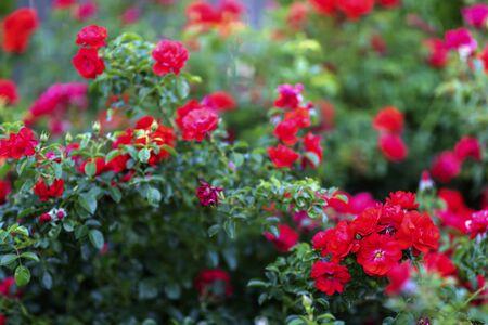 red roses in the garden 写真素材