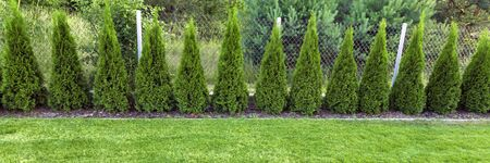 green grass with thuja trees in garden