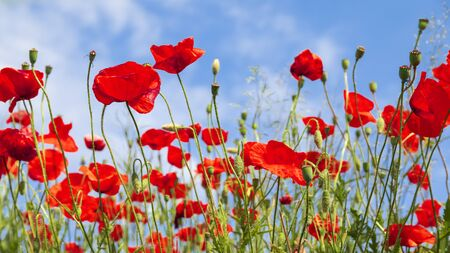 Red poppy flowers on sunny blue sky Reklamní fotografie - 142537719