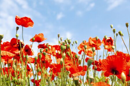 Red poppy flowers on sunny blue sky