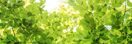 Green tree leaves in sunlight, sunny spring day in the park