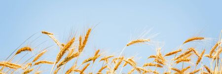 Ears of golden wheat on sunny blue sky close up background