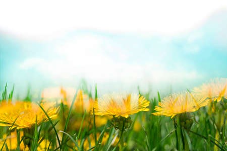 Spring flowers in grass and blue sky, yellow dandelion blossom Reklamní fotografie