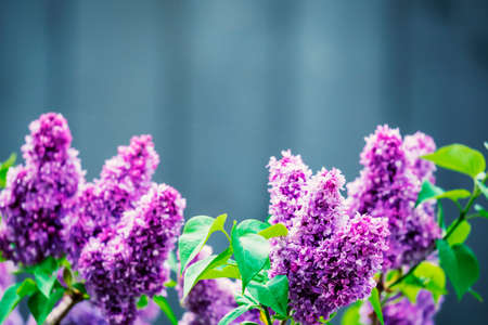 Purple lilac flowers spring blossom