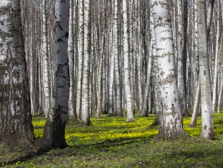 Birch Grove in the Spring, Udelny Park, St.Petersburg, Russia photo