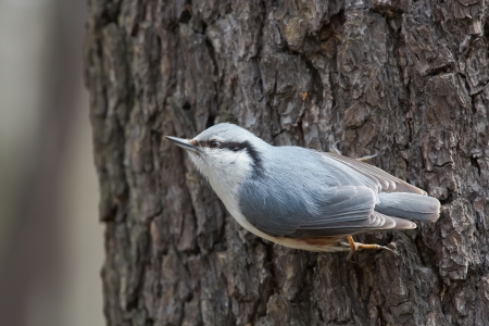 soliciting: Nuthatch on a Tree Trunk Begging for Food, Udelny Park, St.Petersburg, Russia
