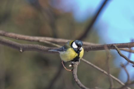 Great Tit on a Bush Branch, Park LTA, St.Petersburg, Russia photo