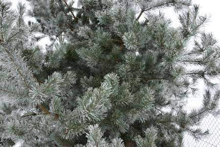 Ice Pine