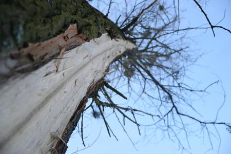 Injured Tree