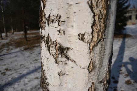 Birch-Tree Bark