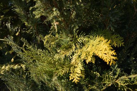 Green Conifer