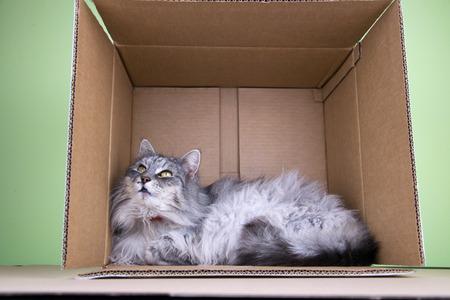 Norsk Skogkatt Cat In The Box Stock Photo - 73595614