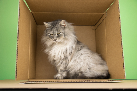 Norsk Skogkatt Cat In The Box