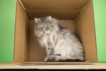 Norsk Skogkatt Cat In The Box Stock Photo - 73595429
