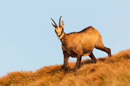 Chamois lit by warm sunset light on dry grass in the autumn with blue sky in the background. Chamois heading down the hill looking at the camera.