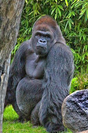 silverback: Gorilla next to rock