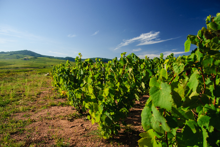 Vineyards and hills in the region of Beaujolais, France