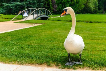 Beautiful swan in the palace of the Chateau de Vizille with wedding photography session in the background, Vizille, France