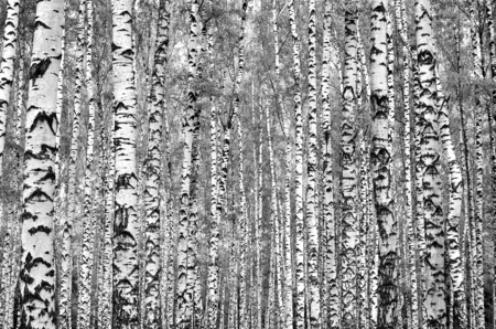 White grey birch trees in the forest in summer, grey grass 1
