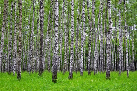 White birch trees in the forest in summer, green grass 1