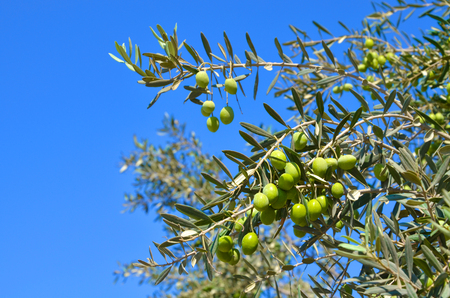 Olive branch with green leaves and olives on a background of blue sky - a symbol of Greece