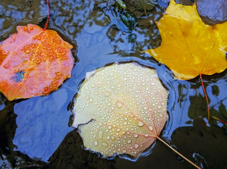 Colorful fallen autumn leaves with drops of water lying in a puddle