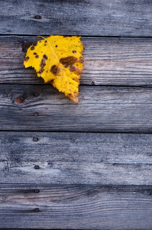 Colorful yellow fallen autumn leaf on wooden gray background