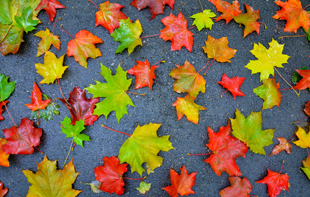 Colorful red yellow fallen autumn maple leaves on gray background Stok Fotoğraf