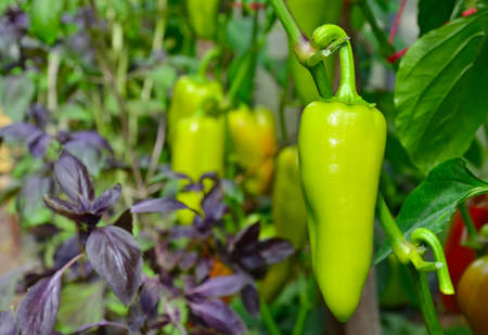 Pepper crop, pepper planting, several green peppers growing on a plant in a greenhouse, close-up