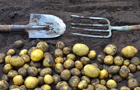 Yellow potatoes, dug up during the harvest by a farmer, are lying on the ground.There is a shovel and pitchfork nearby Stok Fotoğraf