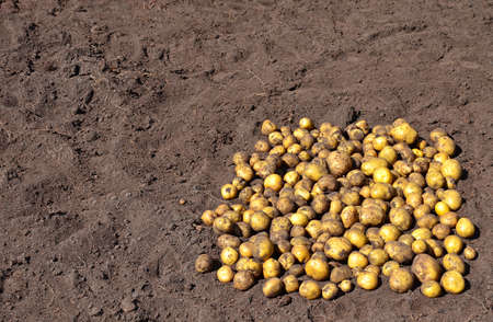 Yellow potatoes, dug up during the harvest by a farmer, are lying on the ground Stok Fotoğraf