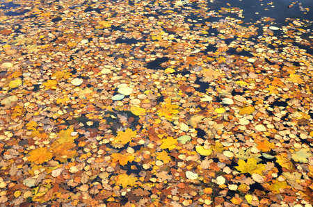 Autumn Scene. Falling colorful, yellow and red maple leaves are lying on the ground in autumnal park, forest