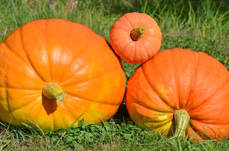 Harvest pumpkins on the farm. Several large and small orange pumpkins are lying on the green grass Stok Fotoğraf