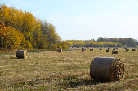 Beautiful autumn landscape, juicy dry grass, hay compressed into round rolls lies on the field. Yellow leaves on trees