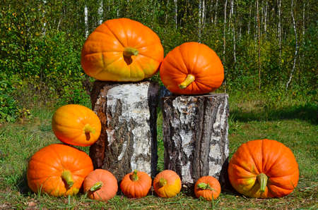 Harvest pumpkins on the farm. Several large and small orange pumpkins are lying on the green grass