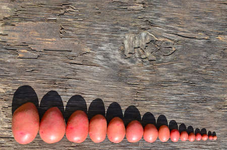 Potato harvest, a red card of large and small sizes lies on the background of a gray wooden board.