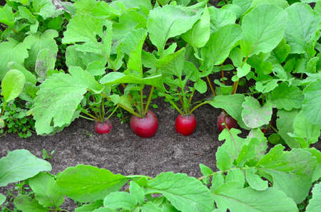 Red radishes grow in the garden on the farm, radishes in the ground Stok Fotoğraf