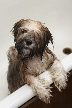 funny puppy after bathing in the bathroom Stock Photo - 7446205