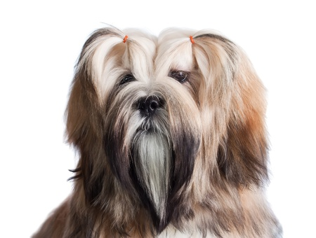 Portrait of lhasa apso dog isolated on white Stock Photo - 8506550