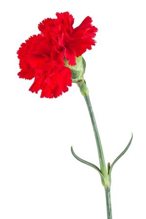 clavel: Hermosa clavel rojo aislado en un fondo blanco