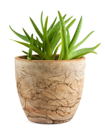 Aloe vera in a pot isolated on white background photo