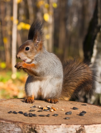 nut trees: Red eurasian squirrel in autumn park
