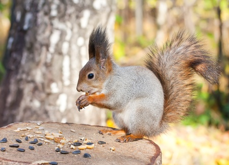 wild hair: Red eurasian squirrel in autumn park