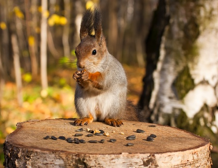 Red eurasian squirrel in autumn park photo