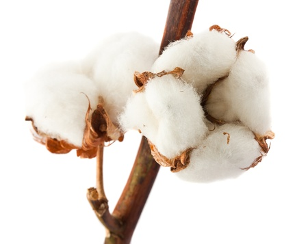organic background: Closeup cotton bolls isolated on white background