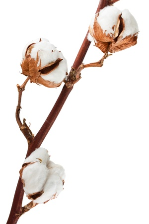 Cotton plant with bolls isolated on a white background photo