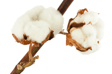 bolls: Cotton plant with bolls isolated on a white background