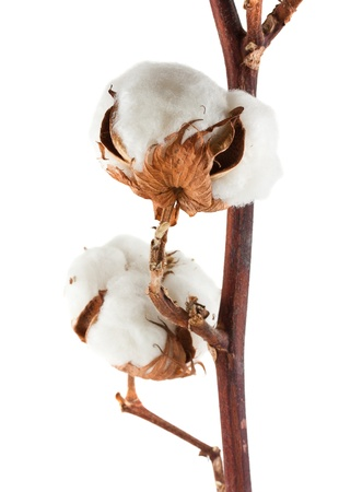 Two cotton bolls isolated on white background photo