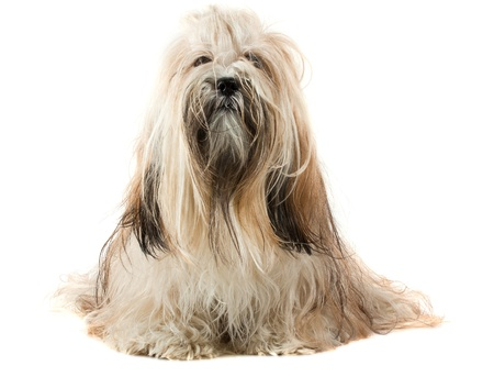 Cute Lhasa Apso sitting on white background, 1 year old photo